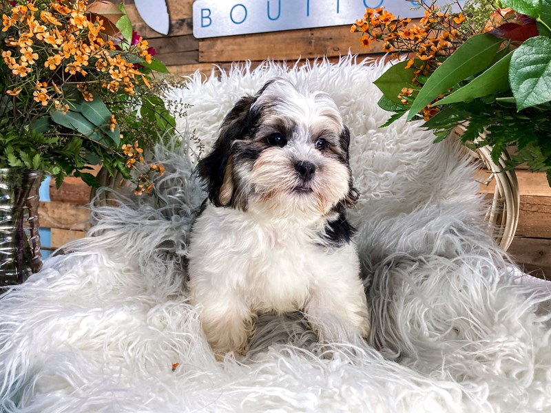 Shorkie-Male-Black / White-2851742-The Barking Boutique