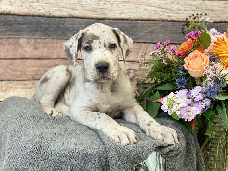 Great Dane-Male-Merle-2852176-The Barking Boutique