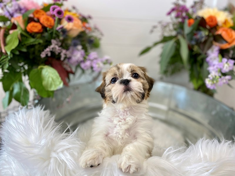 Shih Tzu-Male-Brown Black / White-2851756-The Barking Boutique