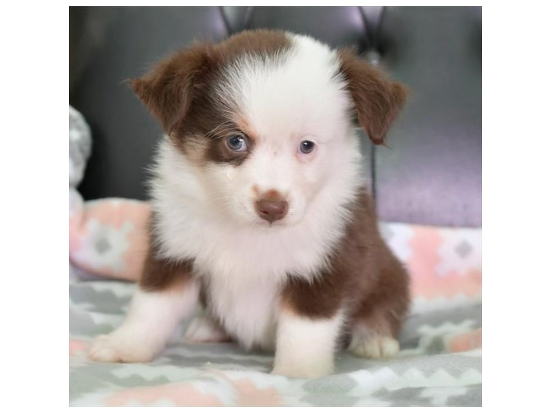 Australian Shepherd-Female-Brown / White-2859262-The Barking Boutique