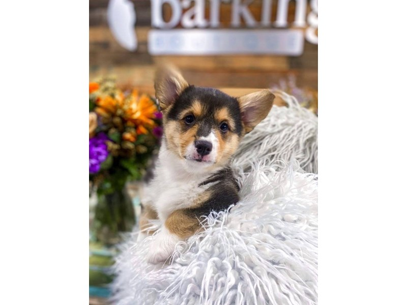 Pembroke Welsh Corgi-Female-Black Tan / White-2859255-The Barking Boutique