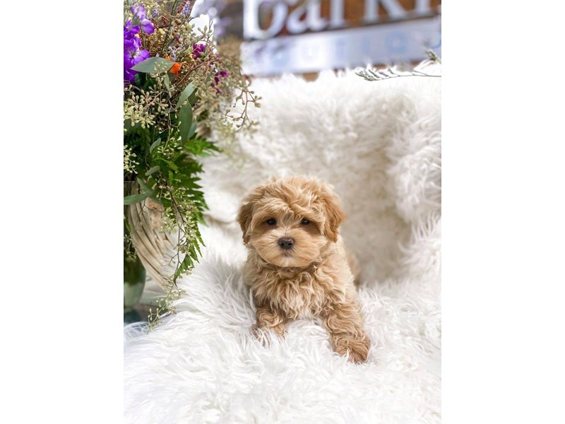 Maltipoo-Male-Apricot-2859242-The Barking Boutique