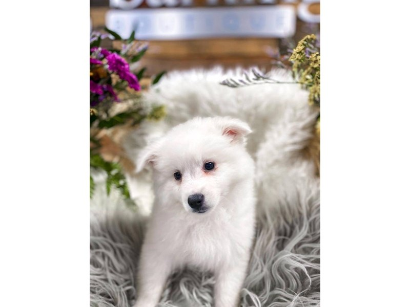 American Eskimo Dog-Male-White-2859240-The Barking Boutique