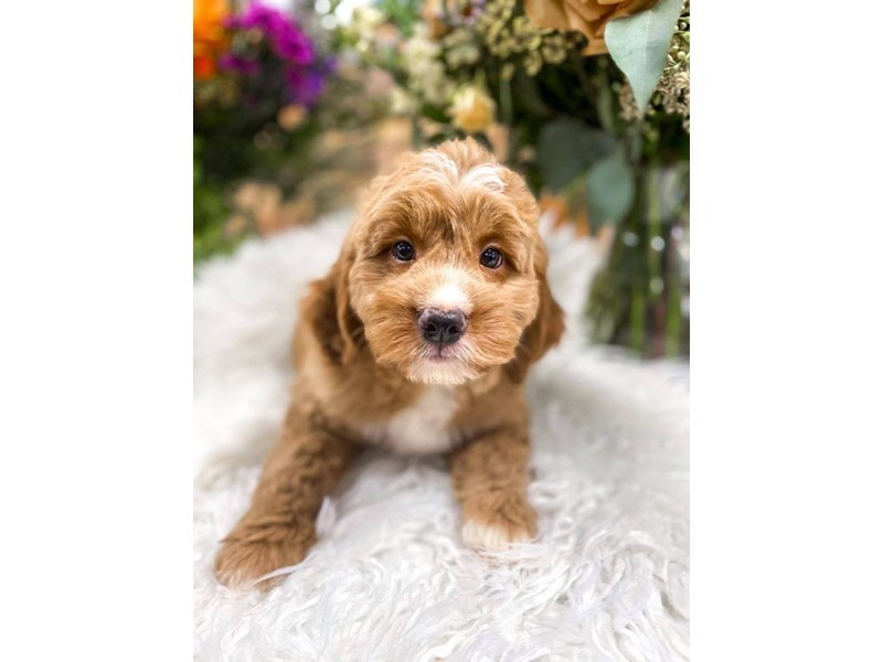 F1B Mini Goldendoodle-Female-Apricot-2859236-The Barking Boutique