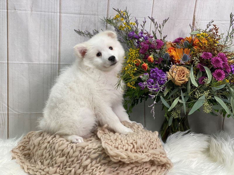 American Eskimo Dog-Female-White-2859239-The Barking Boutique