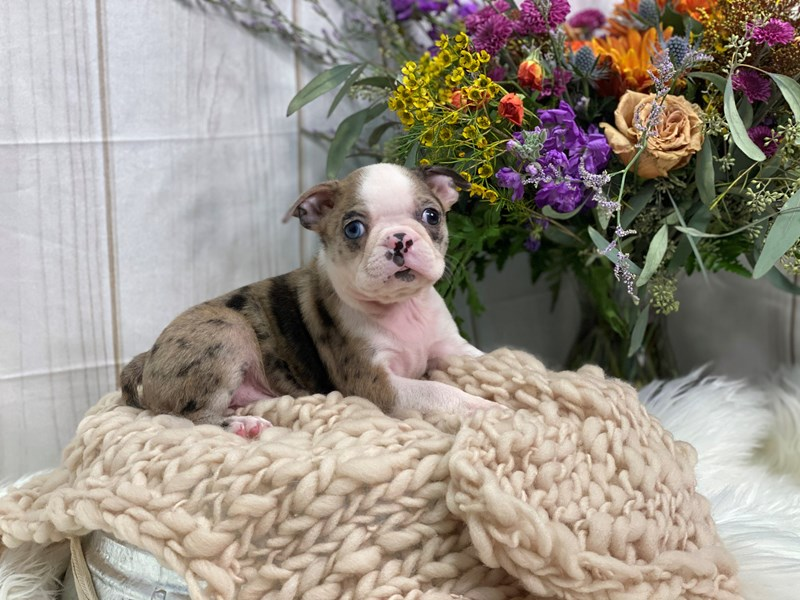 Boston Terrier-Male-Chocolate Merle-2859246-The Barking Boutique
