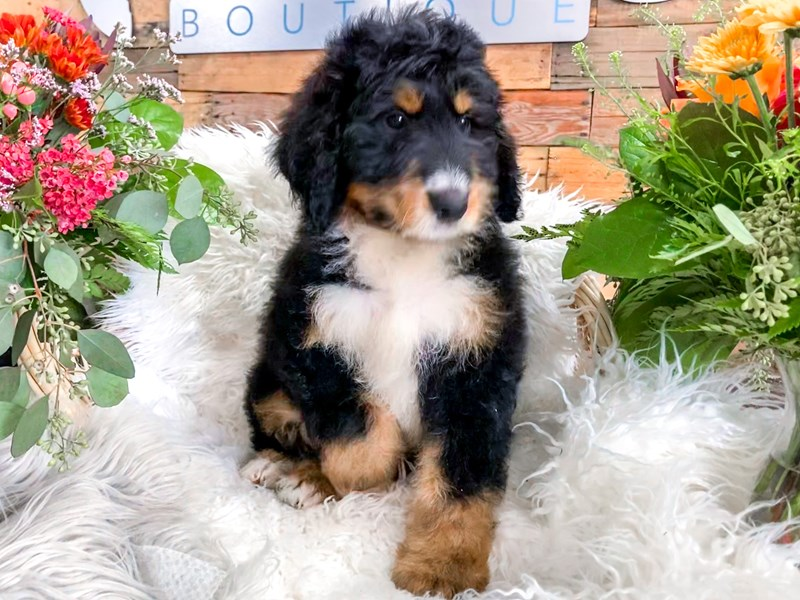 Bernadoodle-Male-Tri-color-2856036-The Barking Boutique