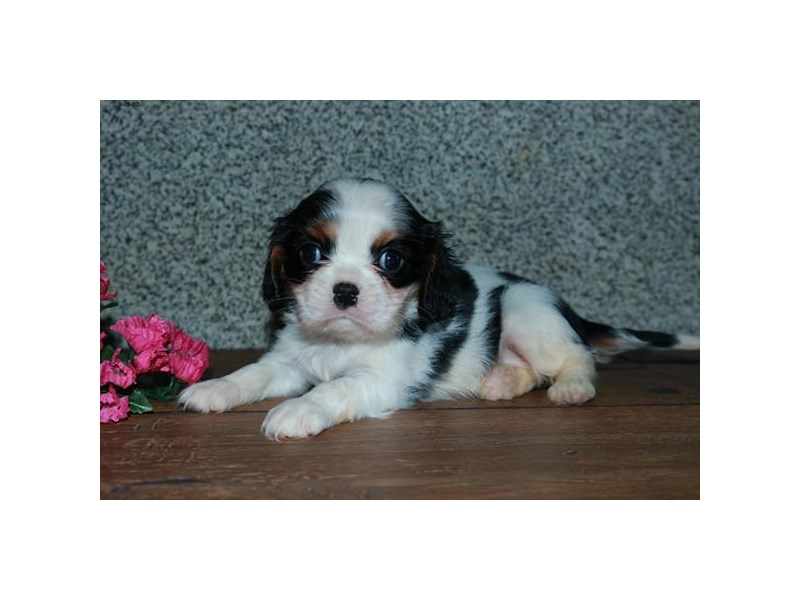 Cavalier King Charles Spaniel-Female-Black White / Tan-2866234-The Barking Boutique