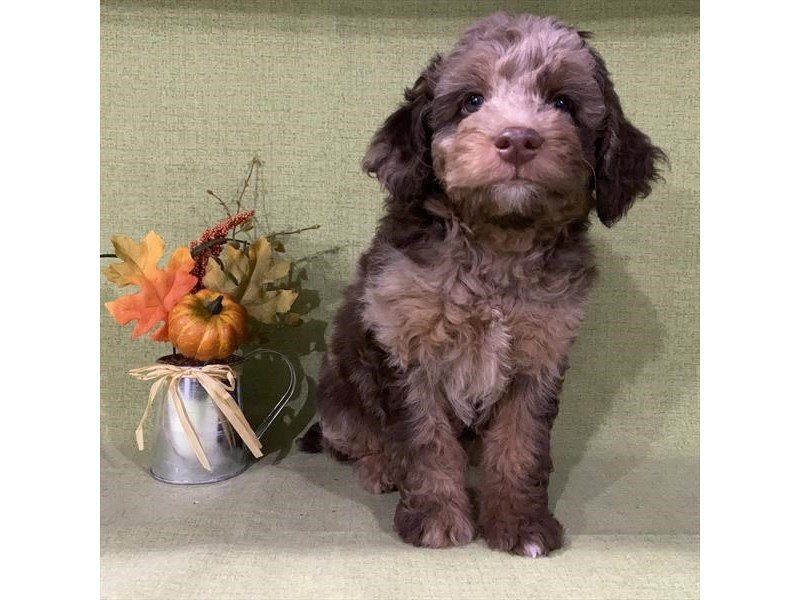 Mini Aussie Poo-Male-Chocolate Merle-2866239-The Barking Boutique