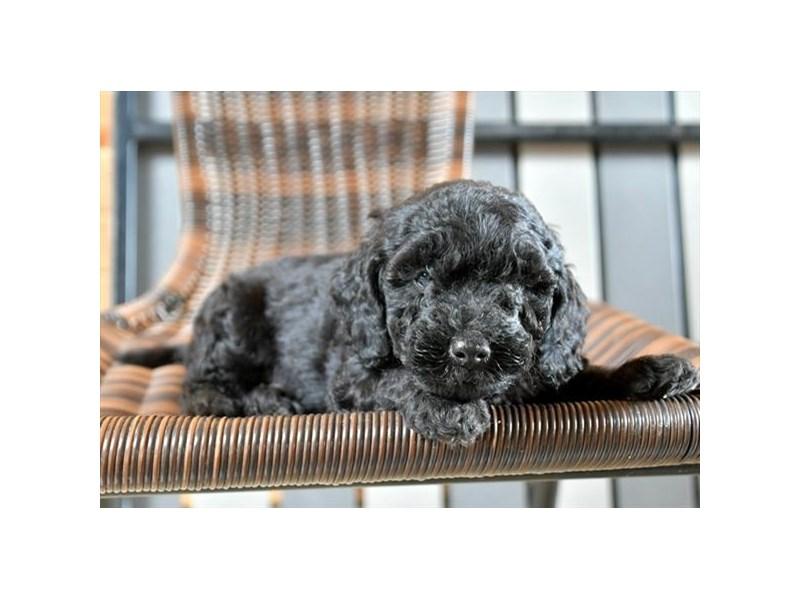 F1B Mini Goldendoodle-Male-Black-2866254-The Barking Boutique