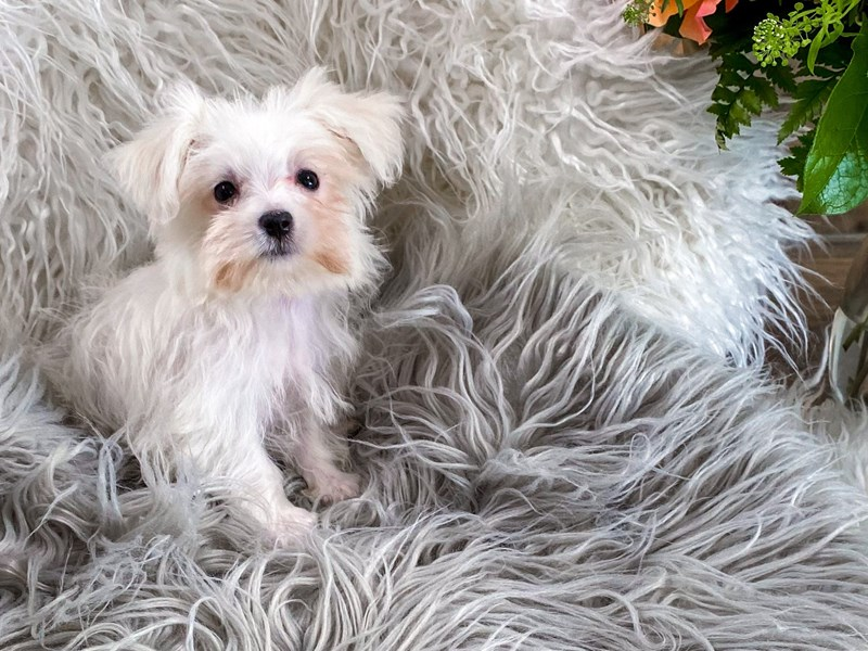 Maltese-Female-White-2863756-The Barking Boutique