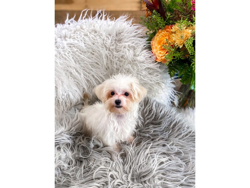 Maltipoo-Female-Lt Cream-2863776-The Barking Boutique