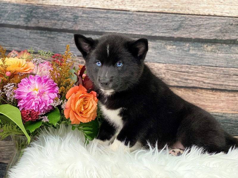 Pomsky-Male-Black / White-2866233-The Barking Boutique