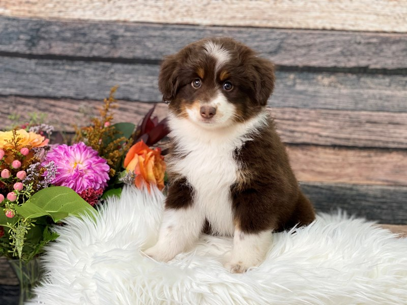 Minature Australian Shepherd-Male-Chocolate / White-2866235-The Barking Boutique