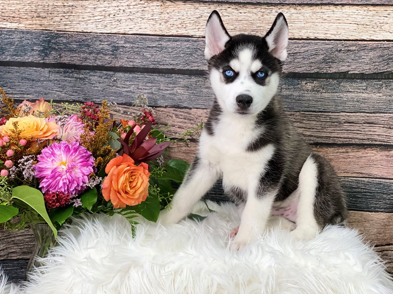 Siberian Husky-Male--2863750-The Barking Boutique