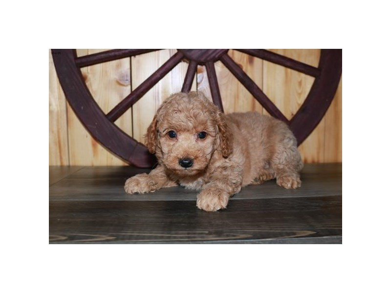 Goldendoodle Mini 2nd Gen-Female-Apricot-2873467-The Barking Boutique