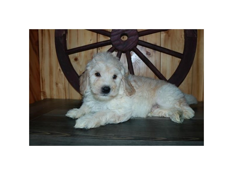 F1B Mini Goldendoodle-Male-Cream / White-2873469-The Barking Boutique