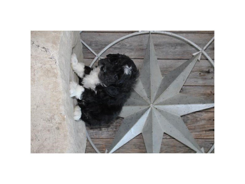 Aussiedoodle Mini-Male-Black / White-2873484-The Barking Boutique