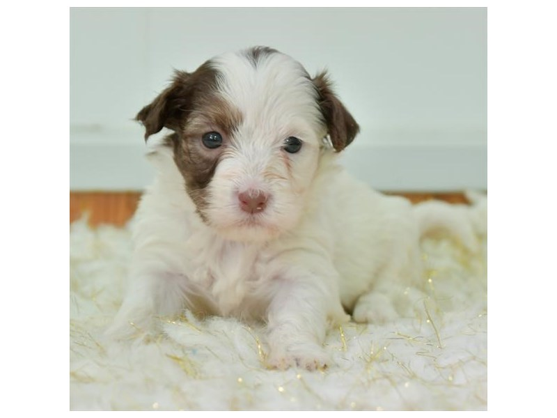Havanese-Female-Chocolate / White-2873492-The Barking Boutique