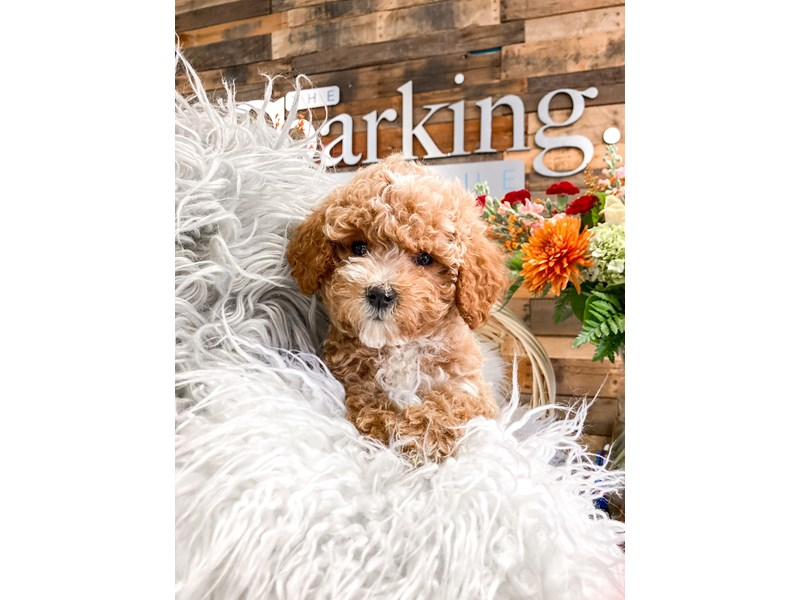 Poodle-Female-Red-2873487-The Barking Boutique