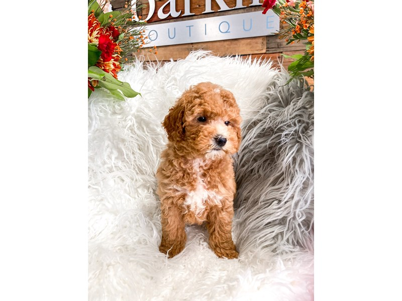 Poodle-Male-Red / White-2873489-The Barking Boutique