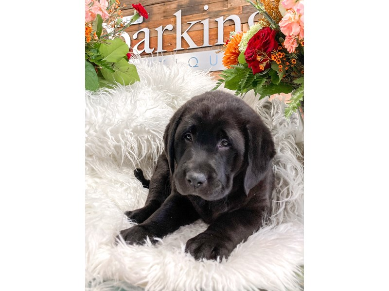 Labrador Retriever-Male-Black-2873470-The Barking Boutique