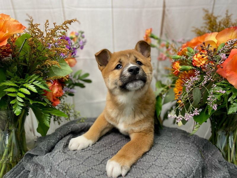 Shiba Inu-Male-Brown-2873485-The Barking Boutique