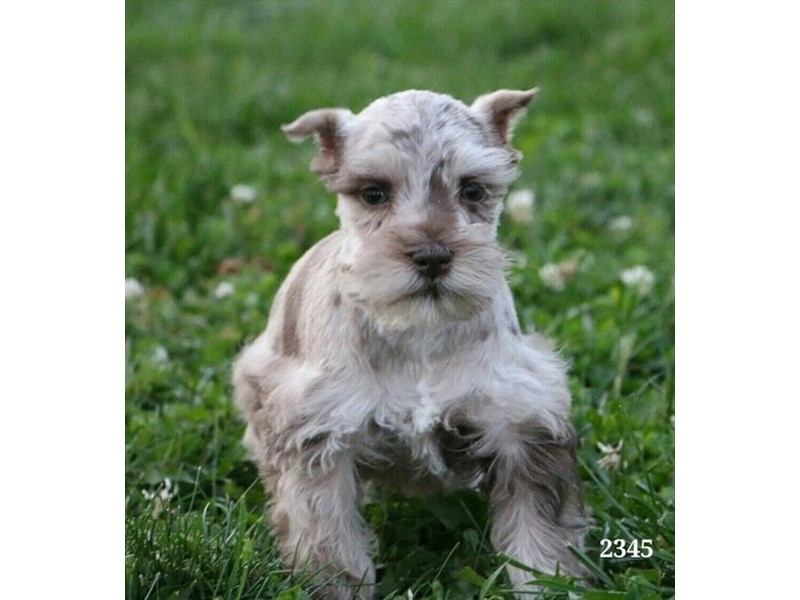 Miniature Schnauzer-Male-Sable Merle-2880491-The Barking Boutique