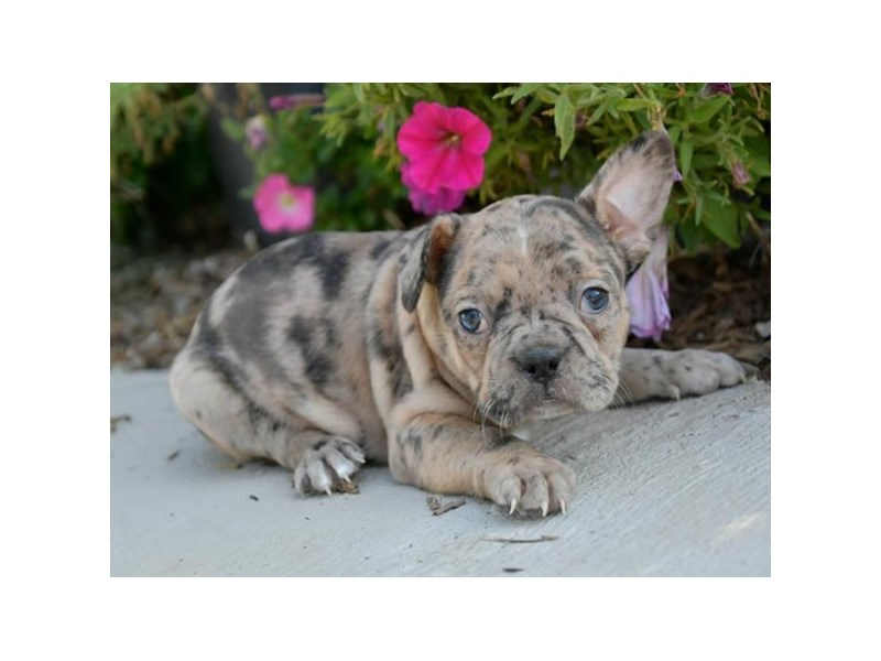 Frenchton-Female-Blue Merle-2880494-The Barking Boutique