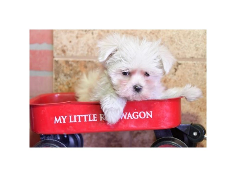 Maltese-Female-White-2880500-The Barking Boutique