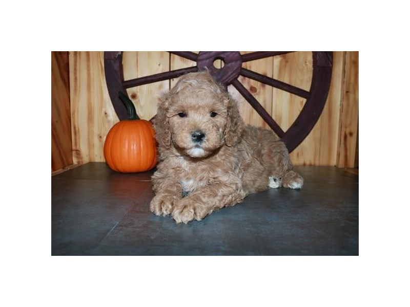 F1B Mini Goldendoodle – Griffin
