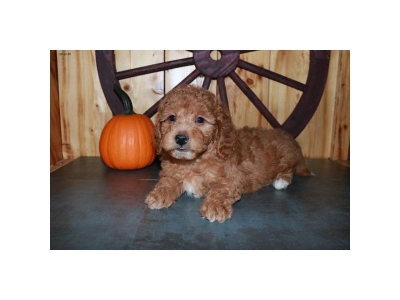 F1B Mini Goldendoodle-Male-Red-2880503-The Barking Boutique