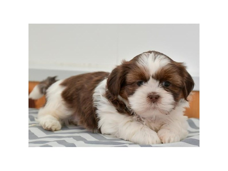 Shih Tzu-Female-Chocolate / White-2880534-The Barking Boutique