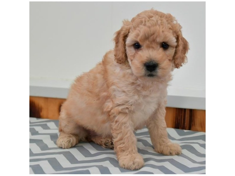 F1B Mini Goldendoodle-Female-Apricot-2880535-The Barking Boutique