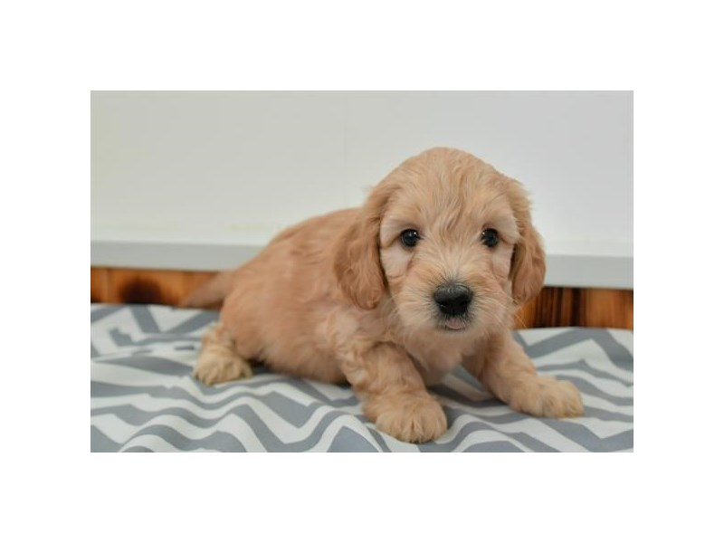 F1B Mini Goldendoodle-Male-Apricot-2880536-The Barking Boutique