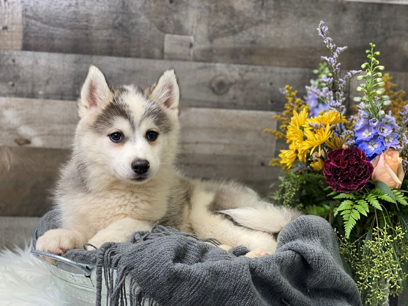 Pomsky 2nd Gen-Female-Black / White-2880504-The Barking Boutique