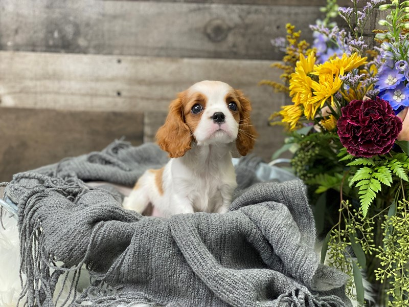 Cavalier King Charles Spaniel-Female-Blenheim-2880545-The Barking Boutique