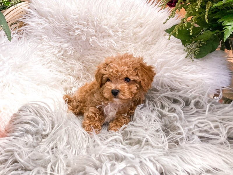 Poochon-Male-Apricot-2880538-The Barking Boutique