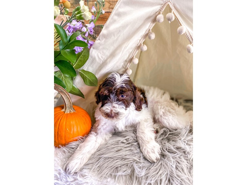 F1B Mini Labradoodle-Male-Brown and White-2884733-The Barking Boutique