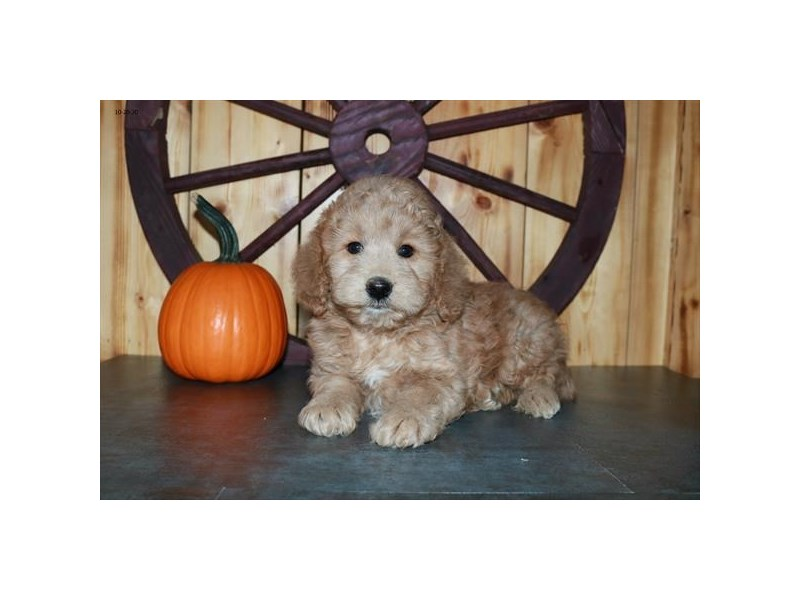 Goldendoodle Mini 2nd Gen-Female-Apricot-2887264-The Barking Boutique