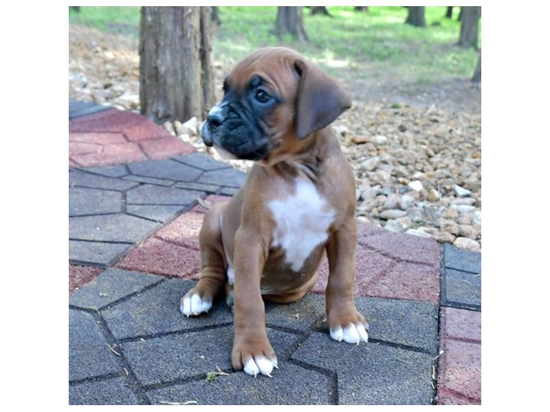 Boxer-Male-Mahogany-2887345-The Barking Boutique
