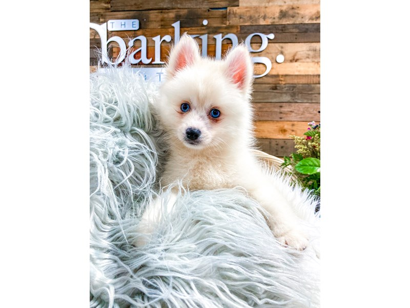 Pomsky-Male-white-2841251-The Barking Boutique