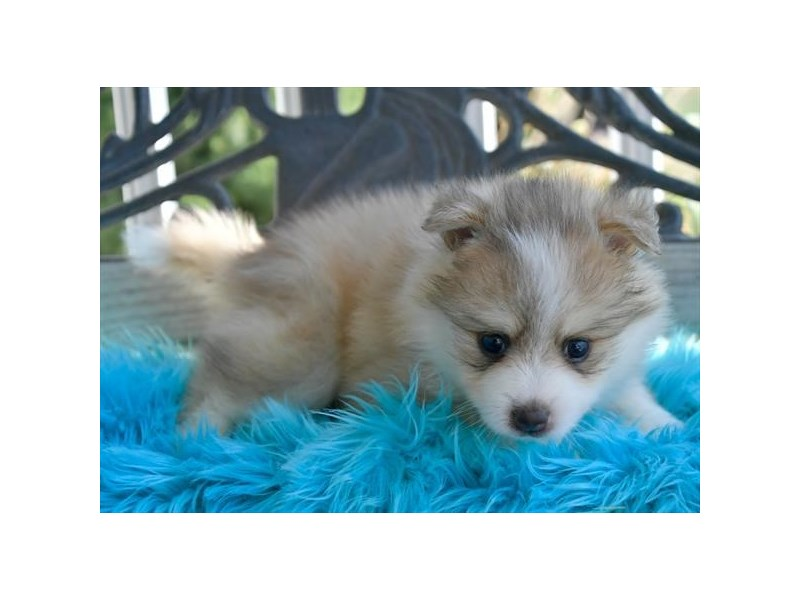 F1B Pomsky-Female-Gray / White-2851743-The Barking Boutique