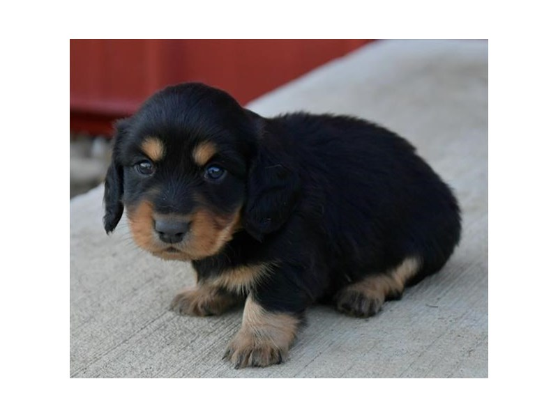 Dachshund-Male-Black / Tan-2859234-The Barking Boutique