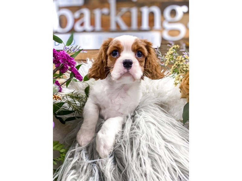 Cavalier King Charles Spaniel-Male-Blenheim-2859261-The Barking Boutique