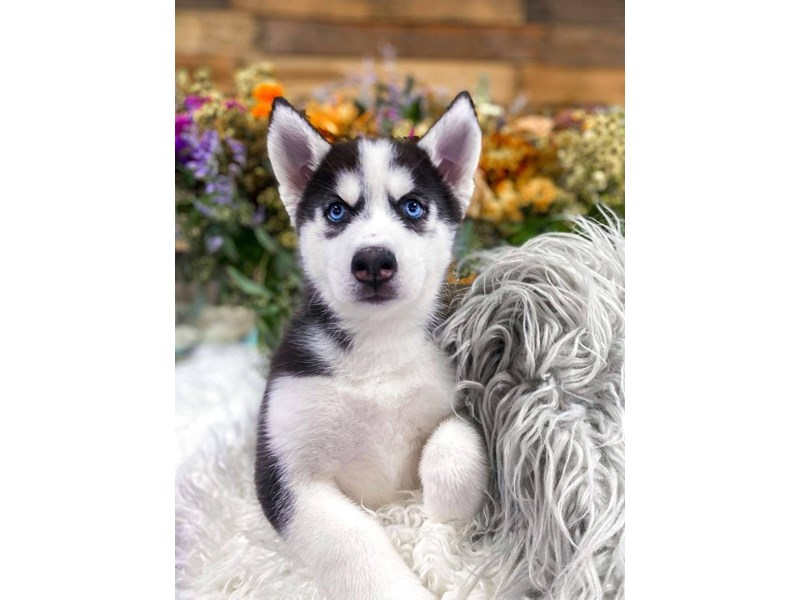 Siberian Husky-Female-Black / White-2859231-The Barking Boutique