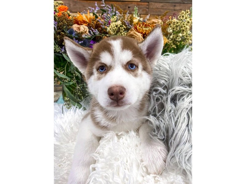 Siberian Husky-Male-Red / White-2859232-The Barking Boutique