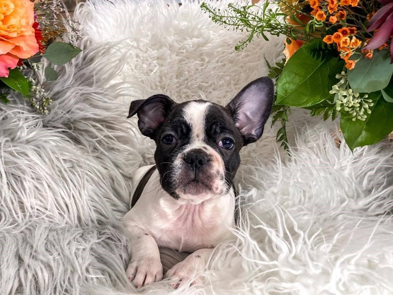 French Bulldog-Male-Black / White-2866236-The Barking Boutique