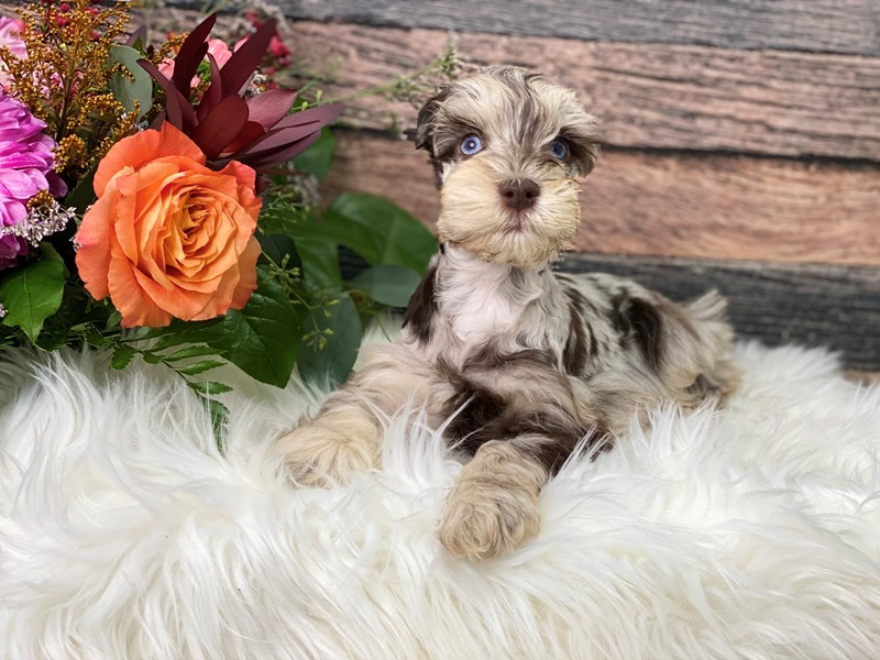 Miniature Schnauzer-Male-Chocolate Merle-2866251-The Barking Boutique