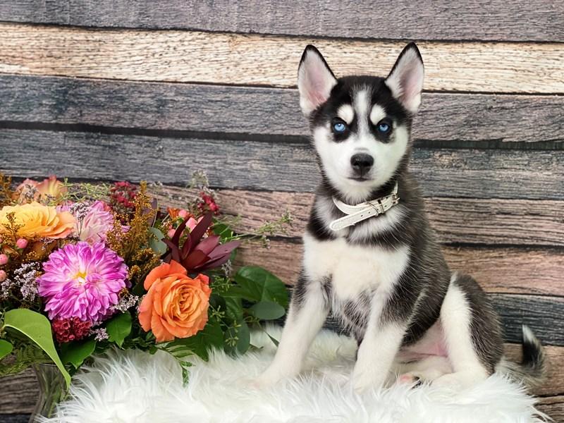 Siberian Husky – Butternut